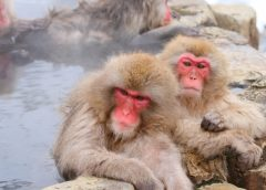 Japanese macaques entering a hot spring at Jigokudani Yaen-Koen (image)