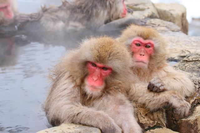 Japanese macaques entering a hot spring at Jigokudani Yaen-Koen (image)